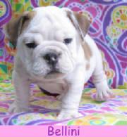 fBellini2a.jpg